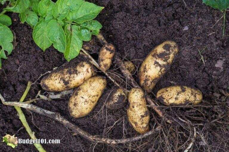 b101 home grown potatoes 3