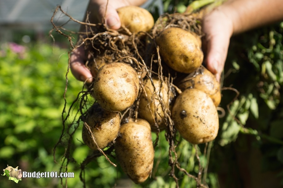 b101-how-to-grow-potatoes
