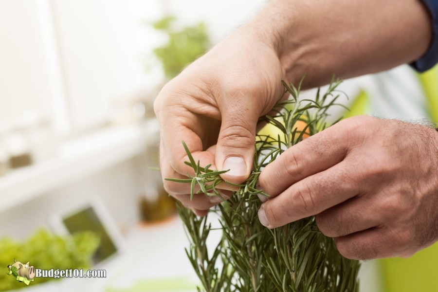 When to harvest herbs- Budget101.com