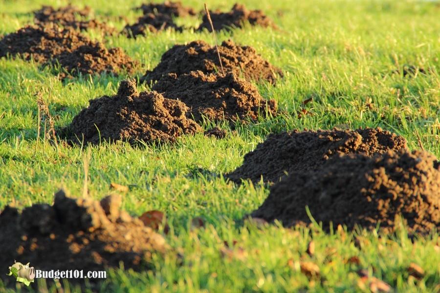 DIY Mole Repellent- Removing Moles