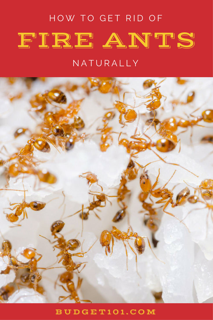 How to Kill fire ants Naturally
