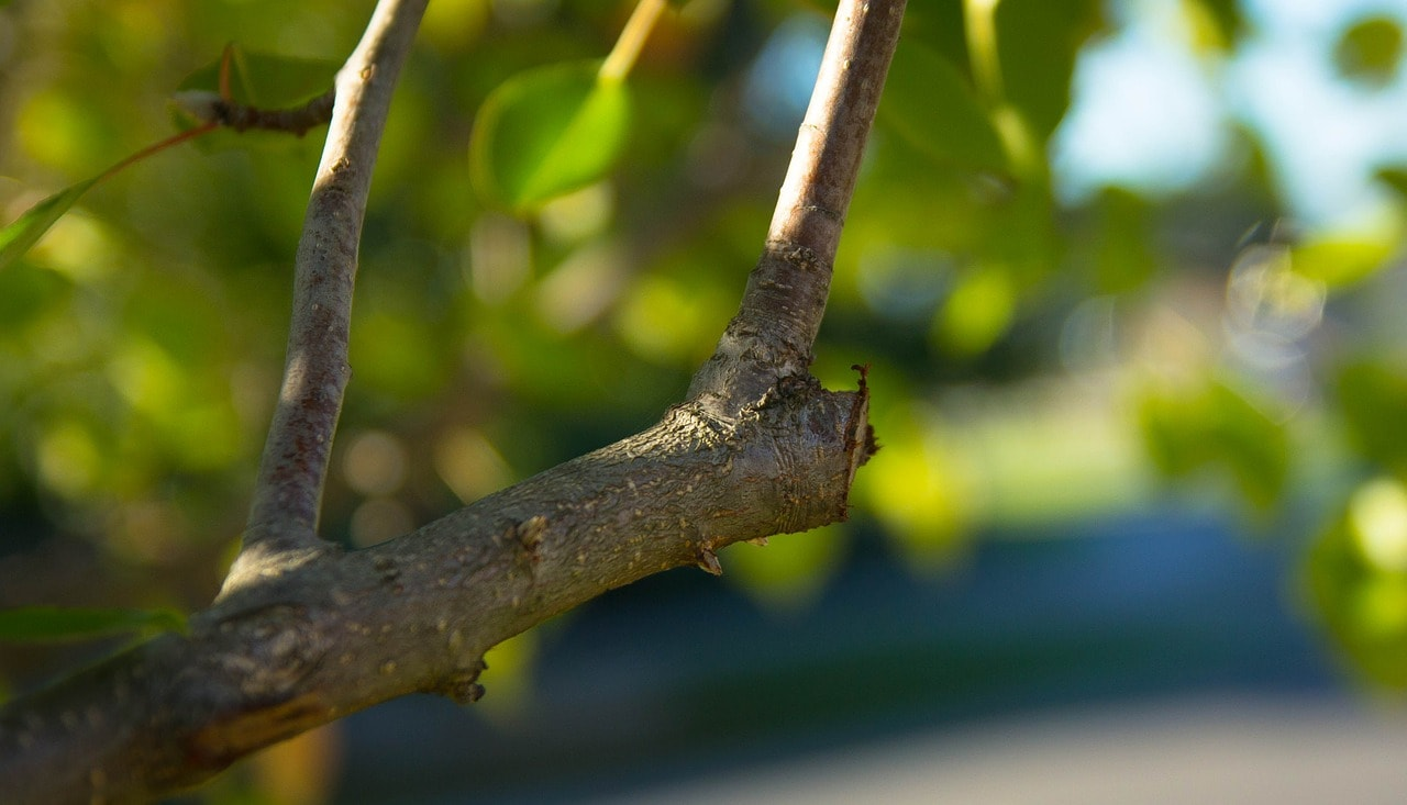 Mistakes to Avoid when Pruning Fruit Trees