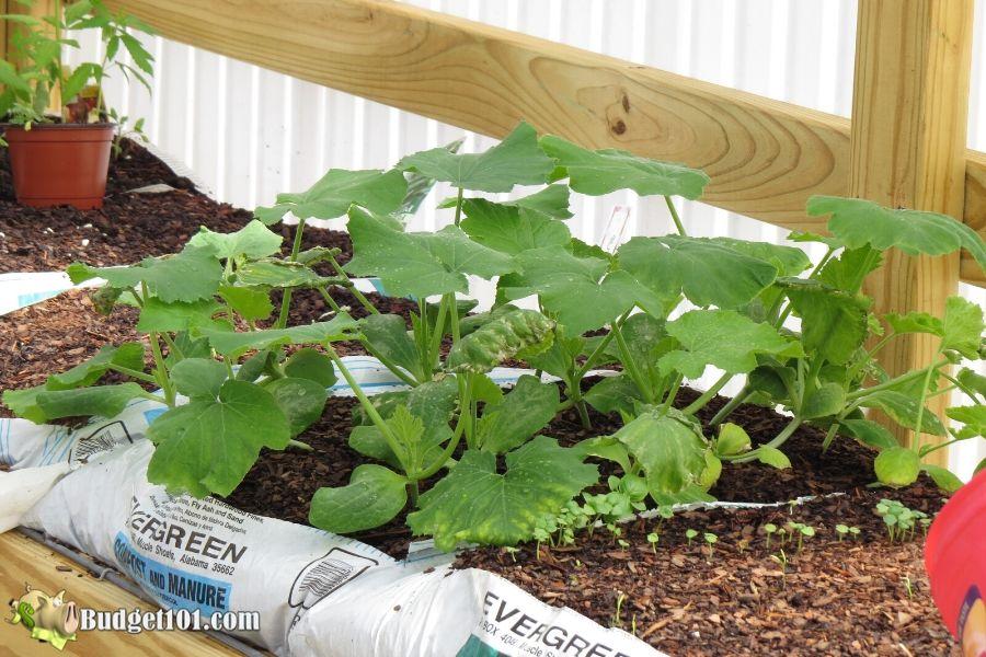 b101-bag-gardening-weed-free-garden-cucumbers