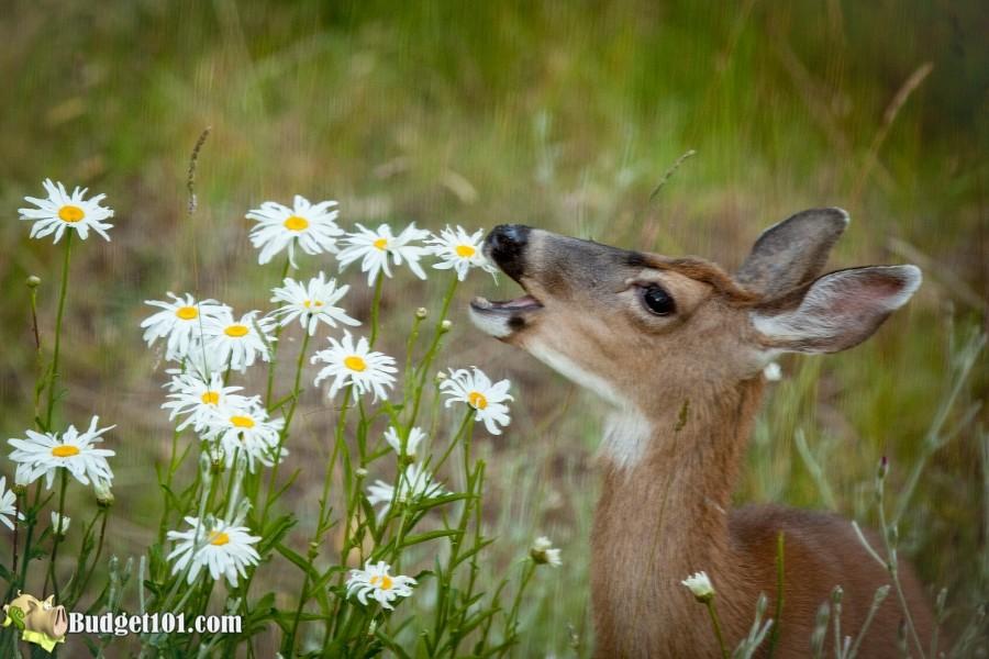 MYO Deer Away Spray- Budget101.com