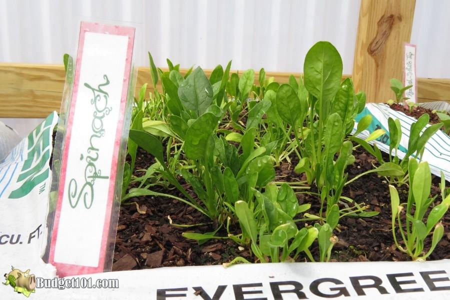 b101-weed-free-garden-spinach