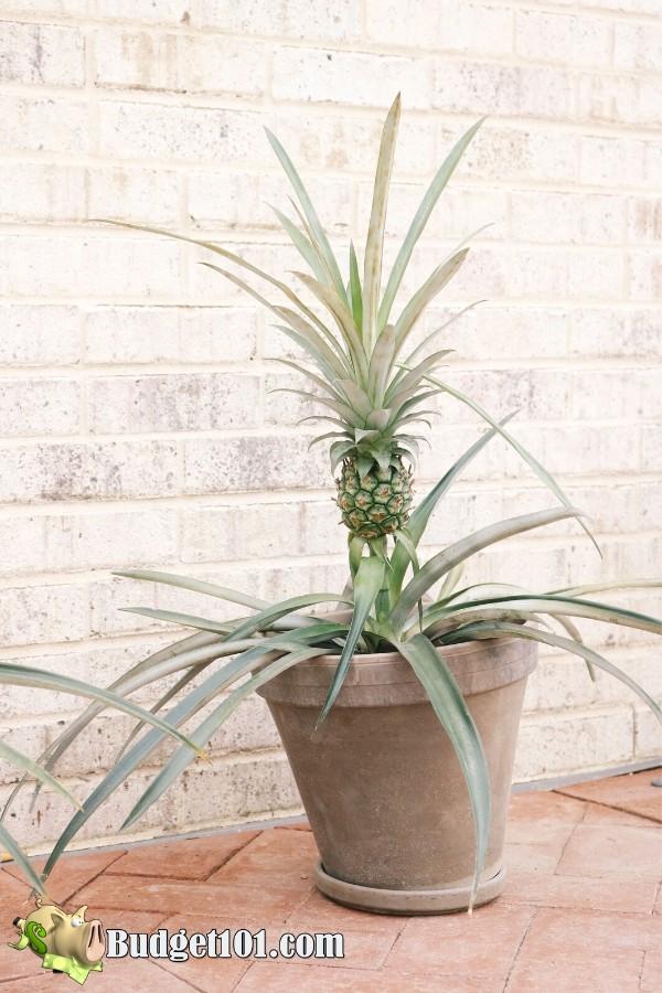b101-grow-pineapples-indoors
