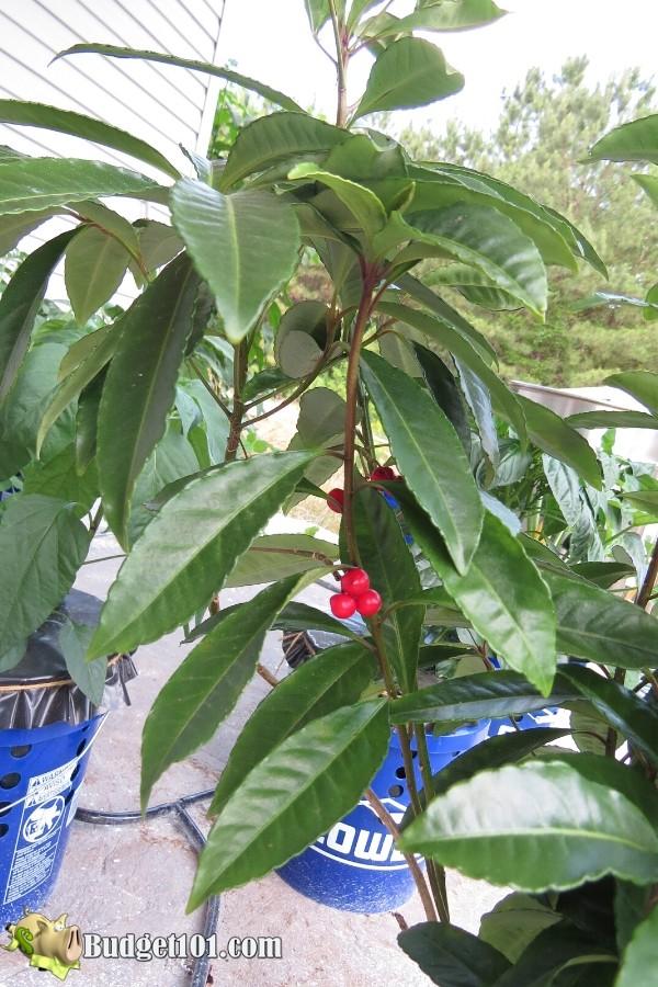 b101-hydroponic-coffee-plants