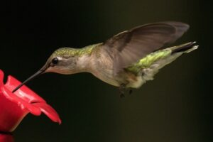 Homemade Hummingbird Nectar Recipe