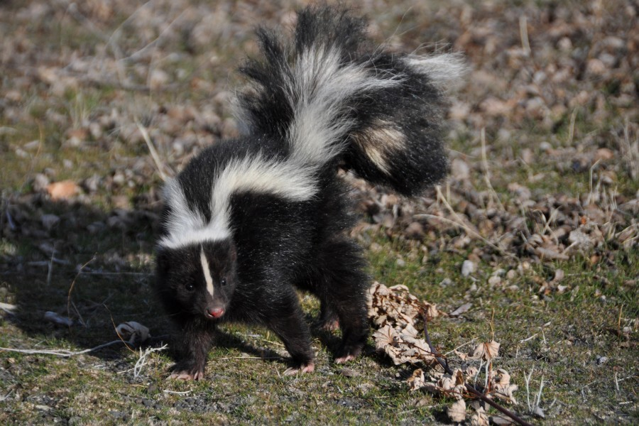 Improved Skunk Odor Remover