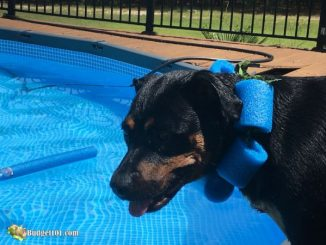 Pool Noodle Swim Collar for Dogs