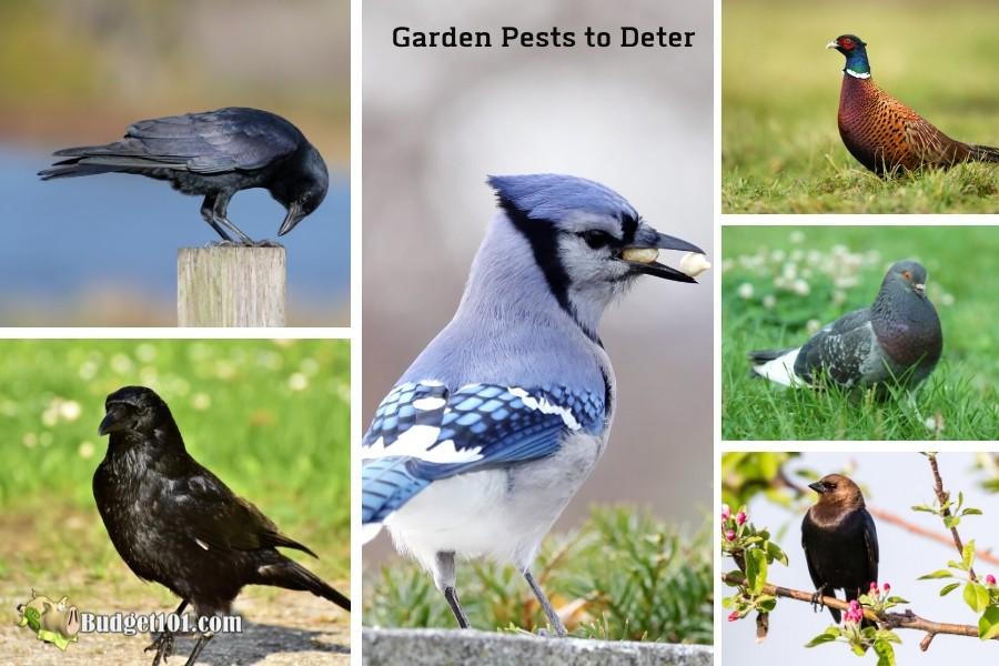 b101-birds-to-deter-from-garden