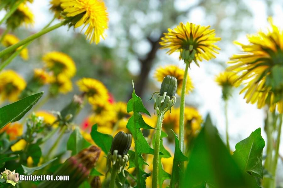 B101-dandelion-flowers (2)