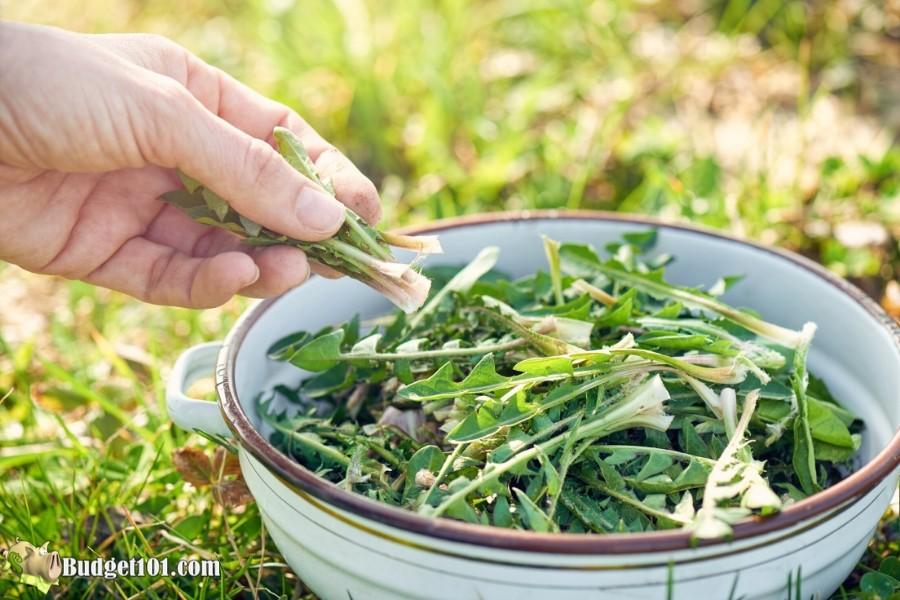 B101-dandelion-greens