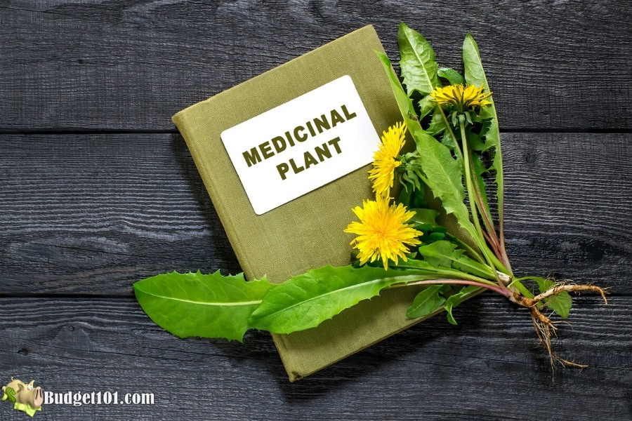 B101-dandelion-medicinal-uses