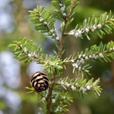 adelgids common christmas tree pests