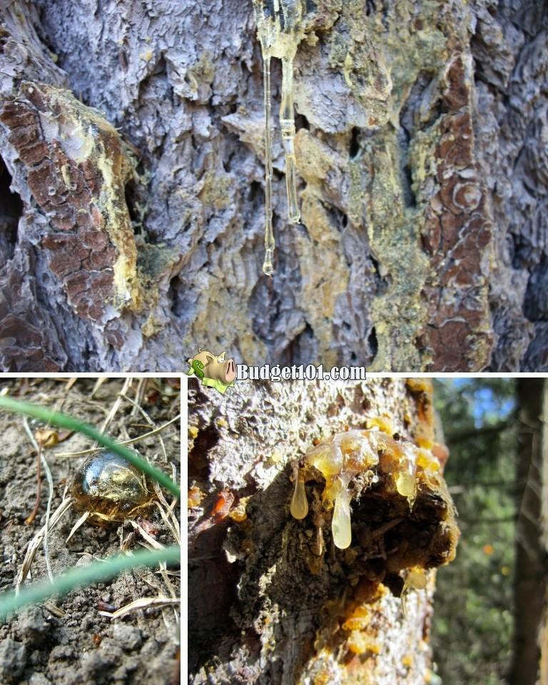 b101 tree sap