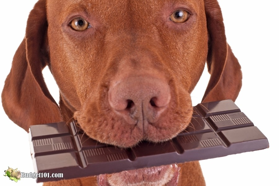 chocolate toxic to dogs