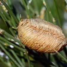 mantids common christmas tree pests