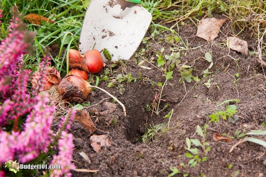 most dangerous plants for pets tulip bulbs