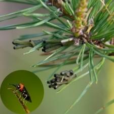 sawflies common christmas tree pests