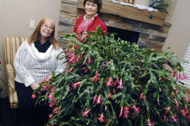 111 year old Christmas cactus
